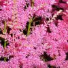 close up of tiny pink flowers on astilbe plumes