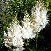 3 fluffy white astilbe plumes with green foliage in the background