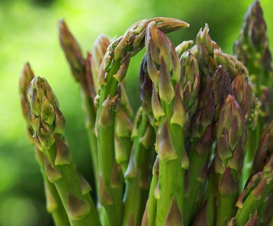 The tops of Jersey Giant Asparagus with a green field faded in the background