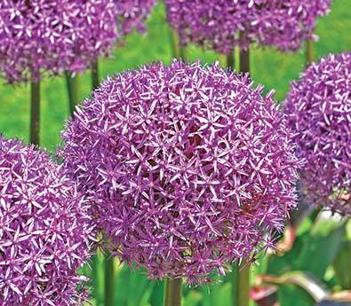 Allium_PurpleSensation-1