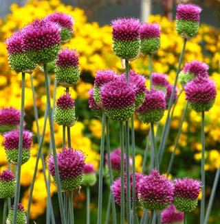 Allium_sphaerocephalon-1