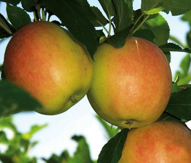 Apple_Anna-1