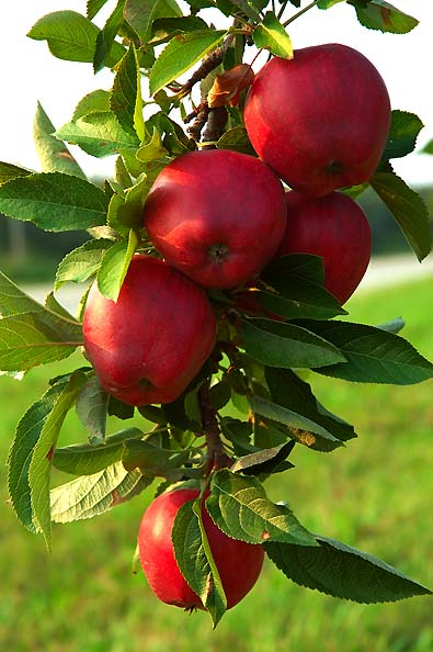 Apple Tree With Red Fruit