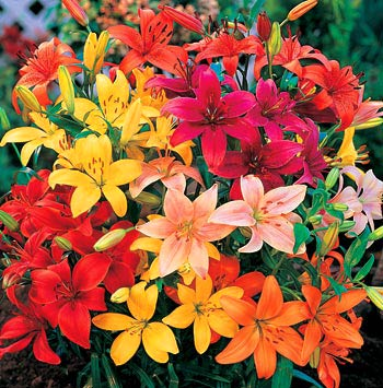Asiatic_Lilies_Mixed-1