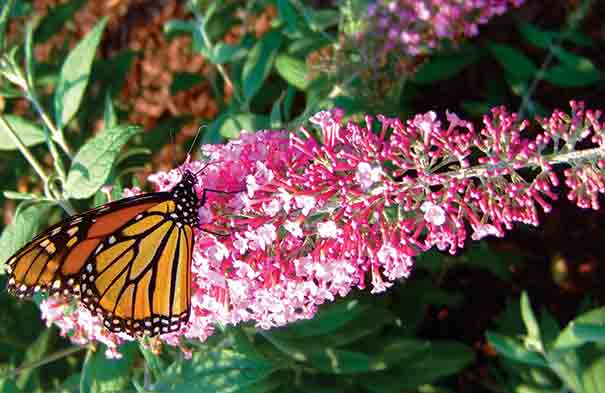 Buddleia butterfly bush davidii pink delight de groot inc buddleia pink delight is absolutely one of the finest pink flowered varieties on the market tiny individual flowers mightylinksfo