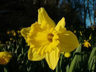 Daffodil_Carlton-1
