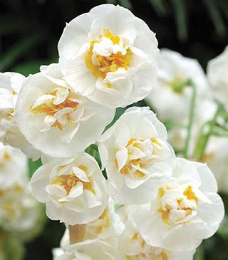 Daffodil_Cheerfulness-1