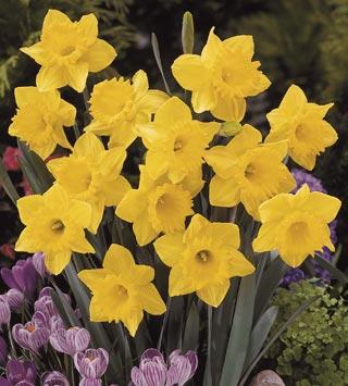 Daffodil_Dutchmaster-1