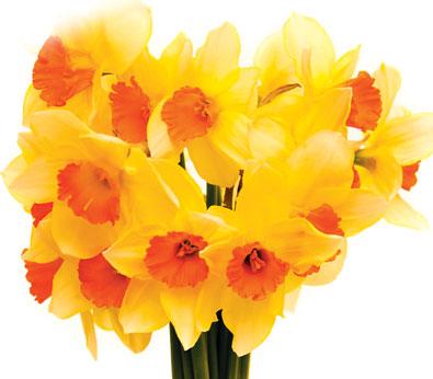 Daffodil_Fortune-1