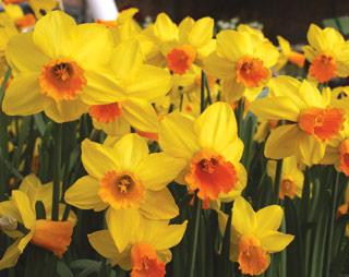 Daffodil_Hollywood