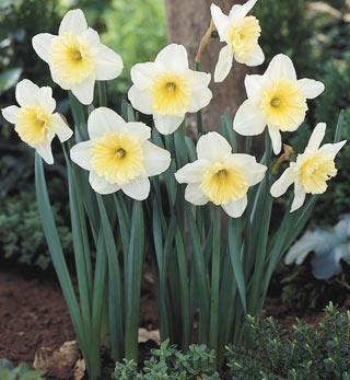 Daffodil_IceFollies-1