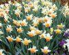 Daffodil_Salome-2