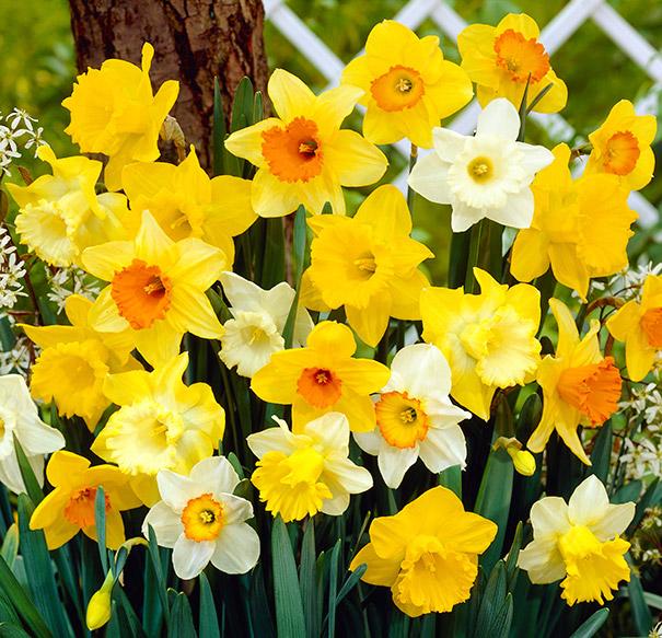Daffodil_mixed