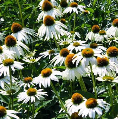 Echinacea purpurea purple coneflower white swan de groot inc echinacea coneflower white swan has fragrant white petals with a coppery cone it is a good cut flower remains one of the finest border plants mightylinksfo