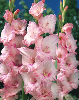 Gladiolus pink degroot they come in a rainbow of colors and their long stems mean you can grow armloads of flowers in a small mightylinksfo
