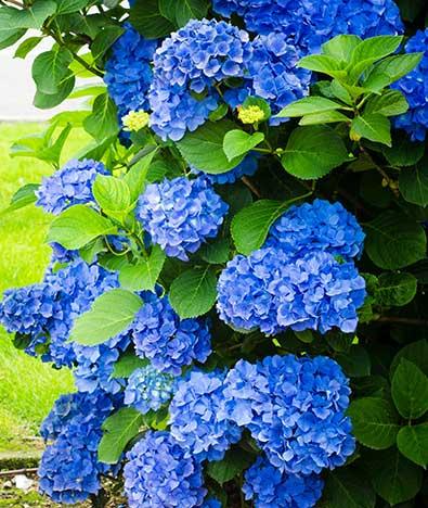 Hydrangea All Summer Beauty Macrophylla De Groot Inc