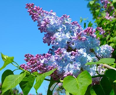 Lilac_Firmament-1