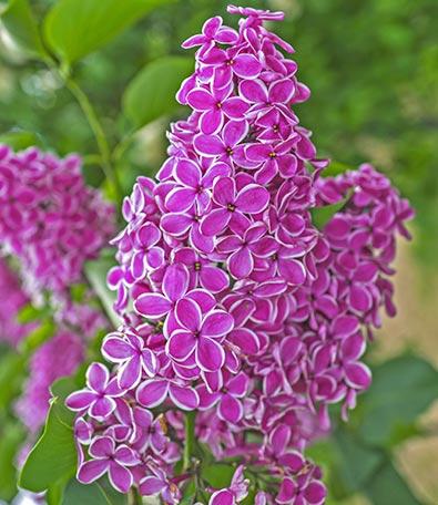 Lilac_Sensation-1