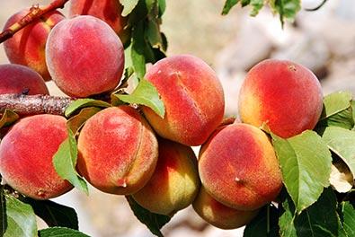 Peach Tree, 'Florida King' - De Groot, Inc  - Perennials