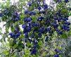 Plum_BlueDamson-3