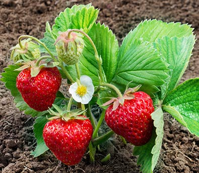 Bred Especially For Northern Growers But Great Throughout The Country With Fort Laramie Strawberries Youll Harvest Your First Berries This Very Summer