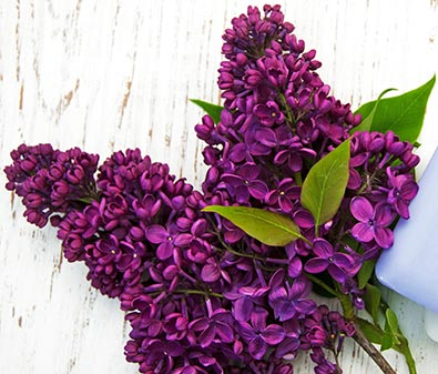 lilac monge degroot