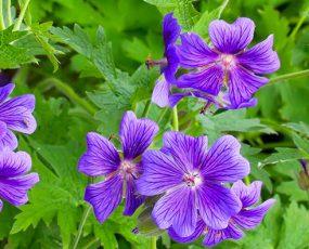 Geranium (Hardy Geraniums)