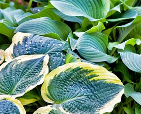 Hosta (Funkia or Plantain Lily)