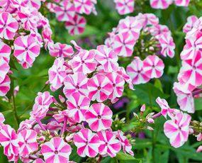 Phlox (Garden Phlox)