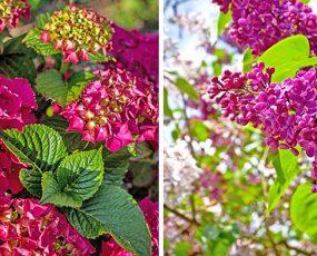 Premium Hydrangea & Lilacs