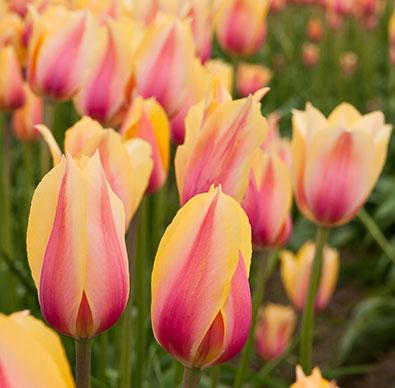 Tulip_BlushingBeauty
