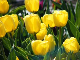 Tulip_Golden_Apeldoorn-1