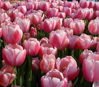 Tulip_Ollioules-1