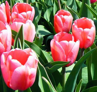 Tulip_PinkImpression-1