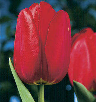 Tulip_Red_Apeldoorn-1
