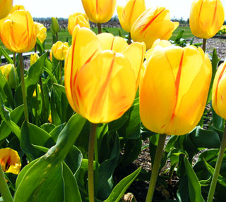 Tulip_Washington-1
