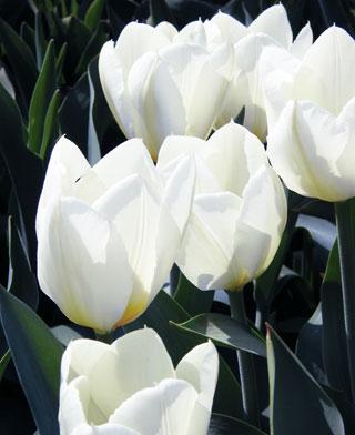 Tulip_White_Emperor-1