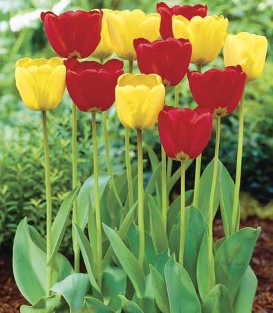 Tulips_Classic_Mix