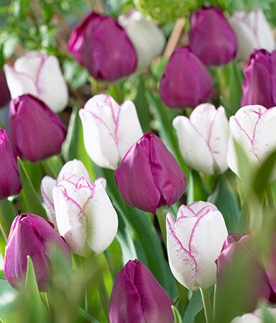 Tulips_Shirley_Demeter-1
