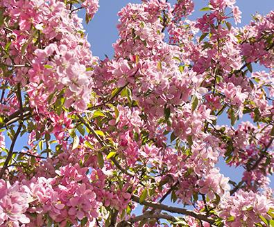 Flowering Cherry Tree Yoshino De Groot Inc Perennials