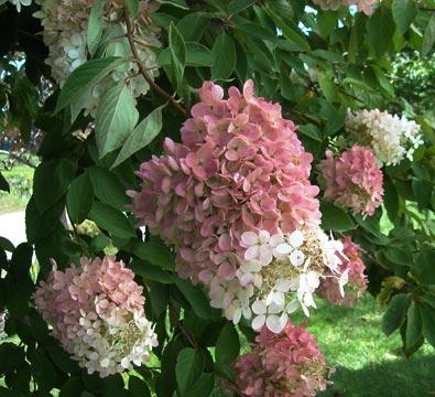 Rispenhortensie Hydrangea paniculata pflanzen