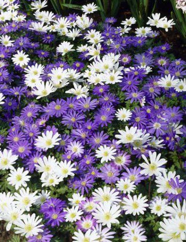 anemone_blanda-1