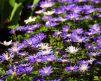 anemone_blanda-2