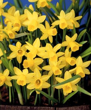 daffodil_Mini_TETE