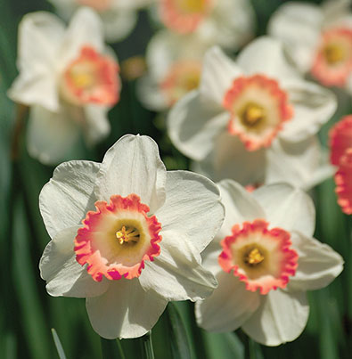 daffodil_Salome-1