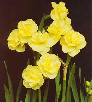 daffodil_yellowcheerfulness-1