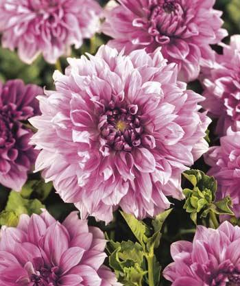giant_lavender-1