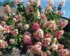 hydrangea_pink_diamond-2