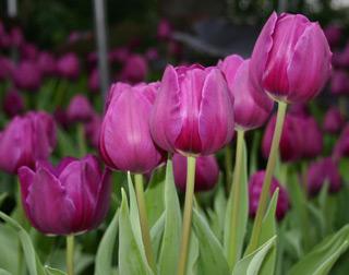 tulip_purpleflag-1