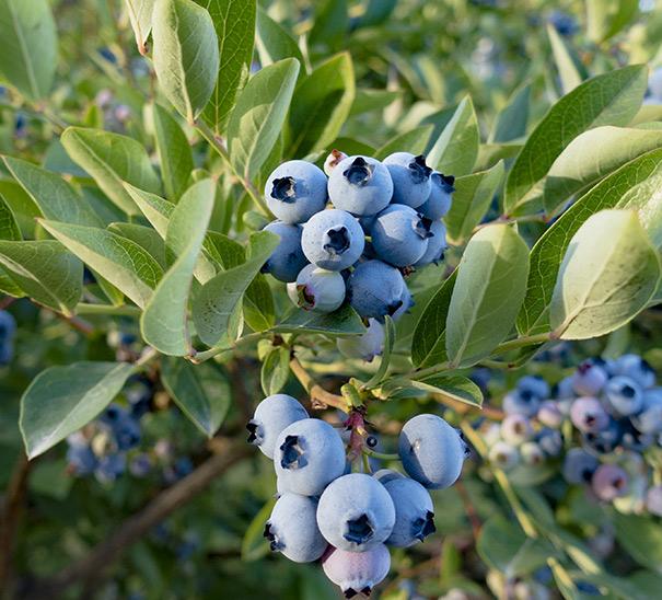 blueberry razz degroot